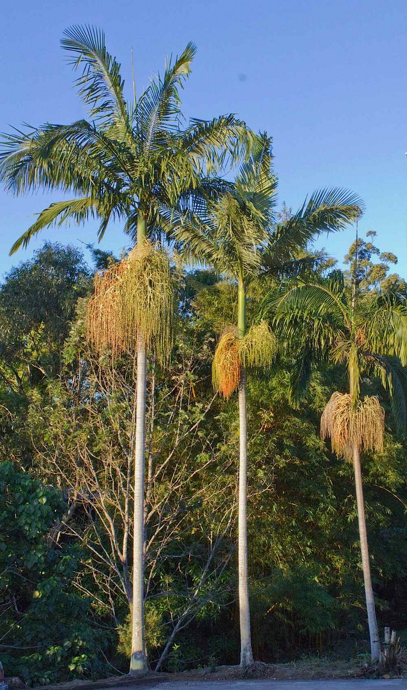 Bangalow Australia  city photos : The Highs and Lows of the Bangalow Palm   Palms Online Australia