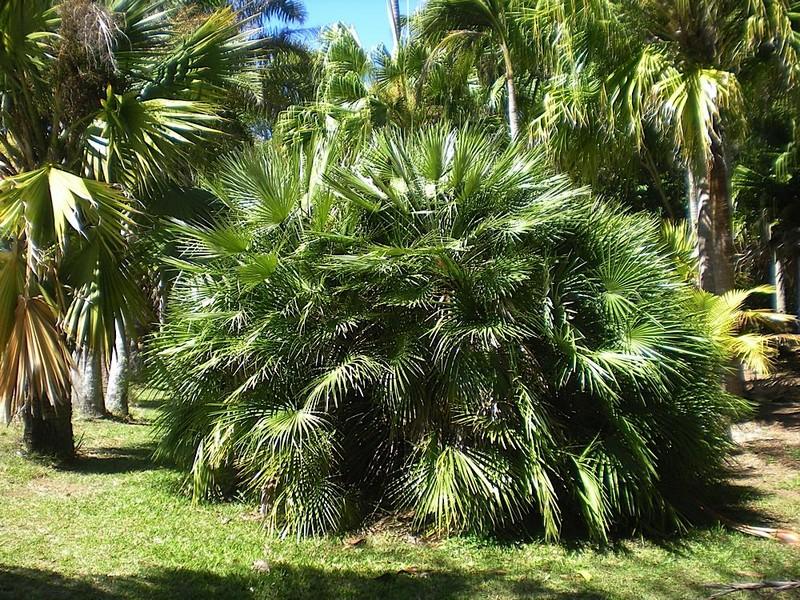 Date palm tree in Australia