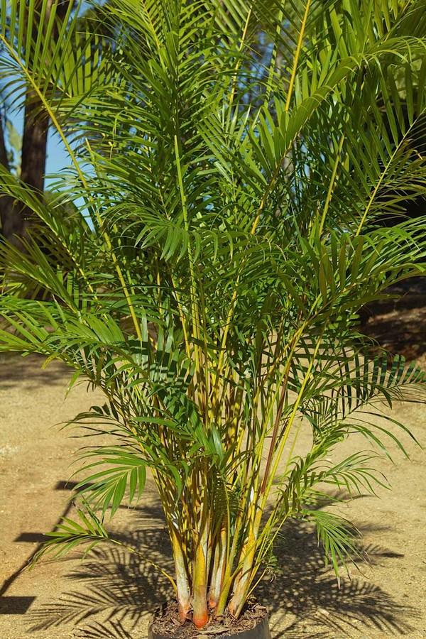 Golden Cane Palms Online
