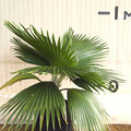 Hawaiian Fan Palm