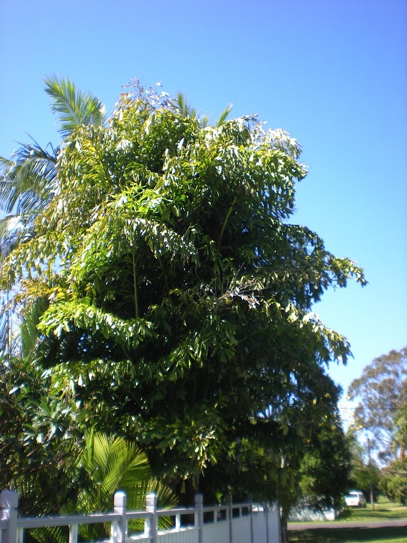 a beginner 39 s guide to fishtail palm tree care caryota