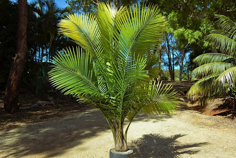 Cold And Frost Choosing The Right Palm Palms Online