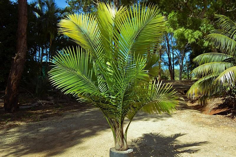 Palms Around Swimming Pools Palms Online Australia