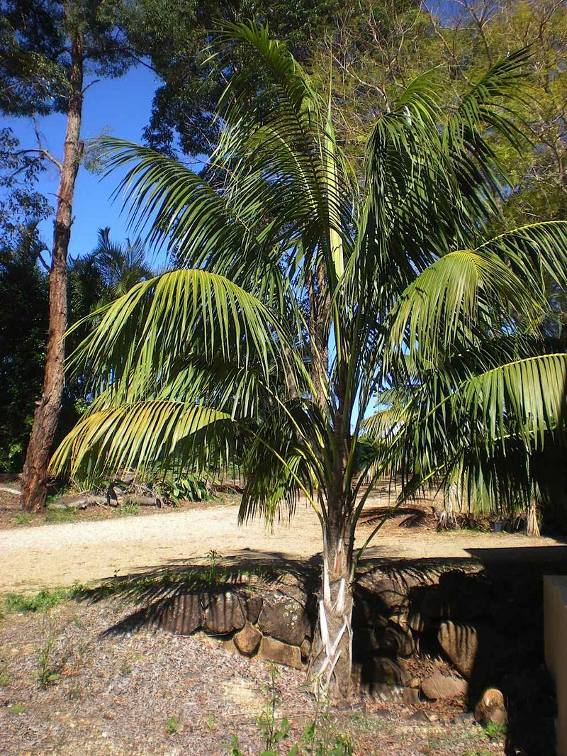 The Perfect Palm For The South Australian Climate Palms
