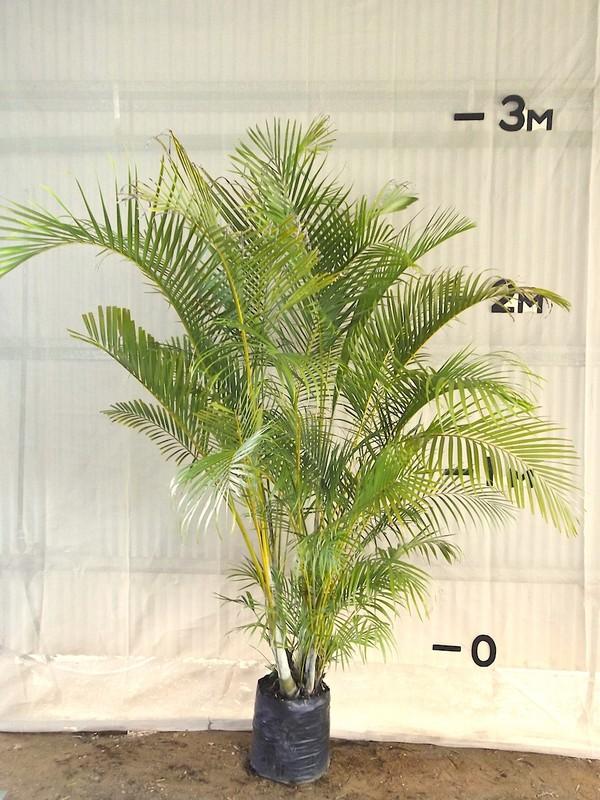 33 12 50 20 >> Golden Cane | Palms Online