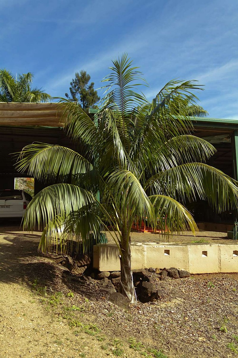 Caring For Your Kentia Palm (Howea Forsteriana)
