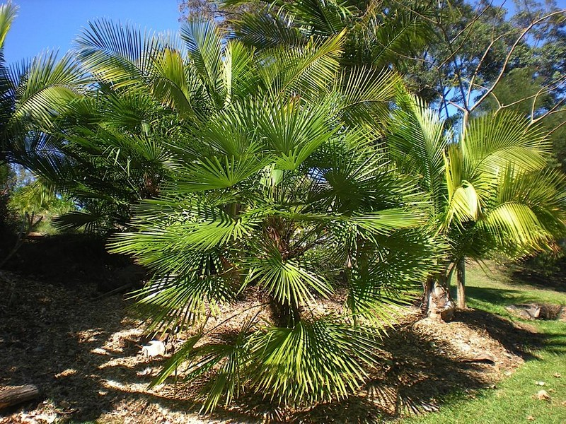 5 facts about watering palm trees palms online australia for Gardening zones australia