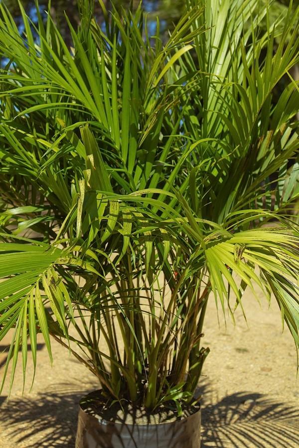 Cascade Palm Palms Online