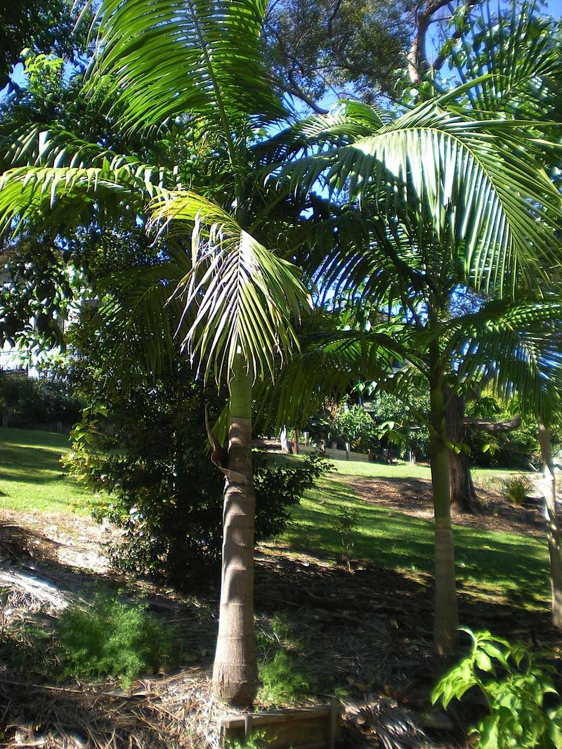 Bangalow Australia  city photos gallery : The Highs and Lows of the Bangalow Palm | Palms Online Australia