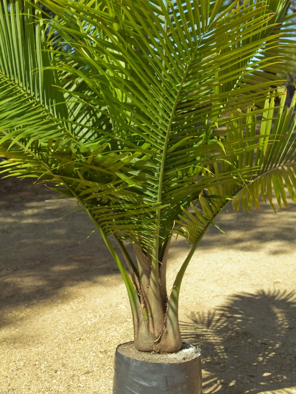 Tips About Caring For Majestic Palms Ravenea Rivularis