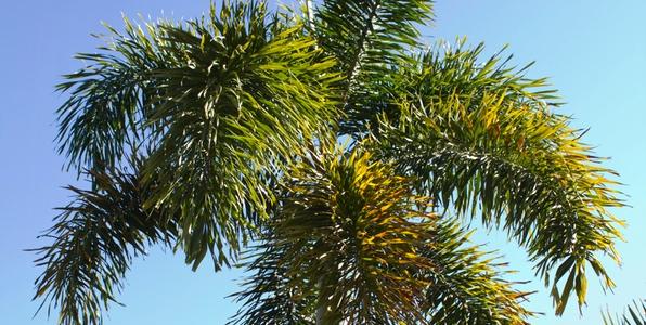 Rhapis Palm Palms Online