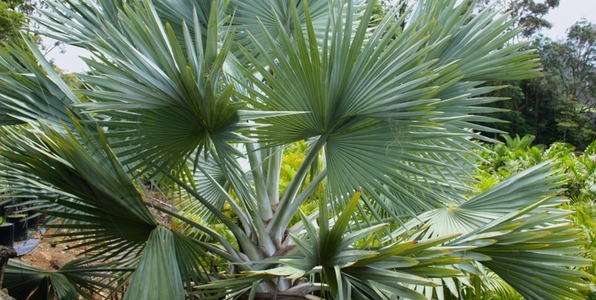 Exotic Small And Dangerous Palms Palms Online Australia