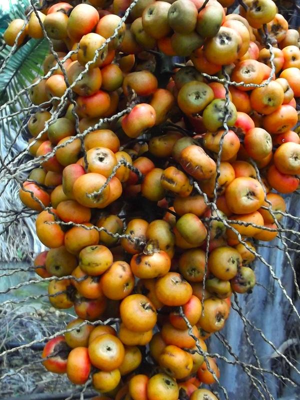 palm fruit dried fruits