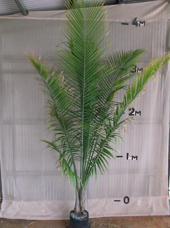 majestic palm palms online. Black Bedroom Furniture Sets. Home Design Ideas
