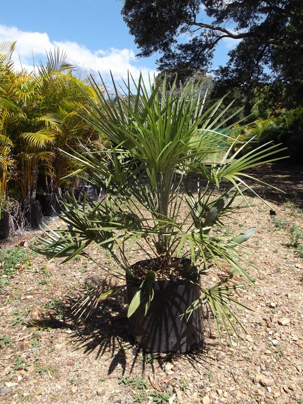 Индекс пальма